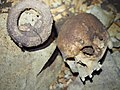 Human skull and iron currency bracelet from Iroungou Gabon.jpg