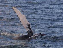 Anatomia cetacei - Oceanus