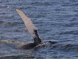 250px-Humpback_flipper dans BALEINE