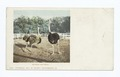 Husband and Wife (or Mr. and Mrs. McKinley), Ostriches (NYPL b12647398-62098).tiff