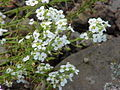 Hutchinsia alpina0.jpg