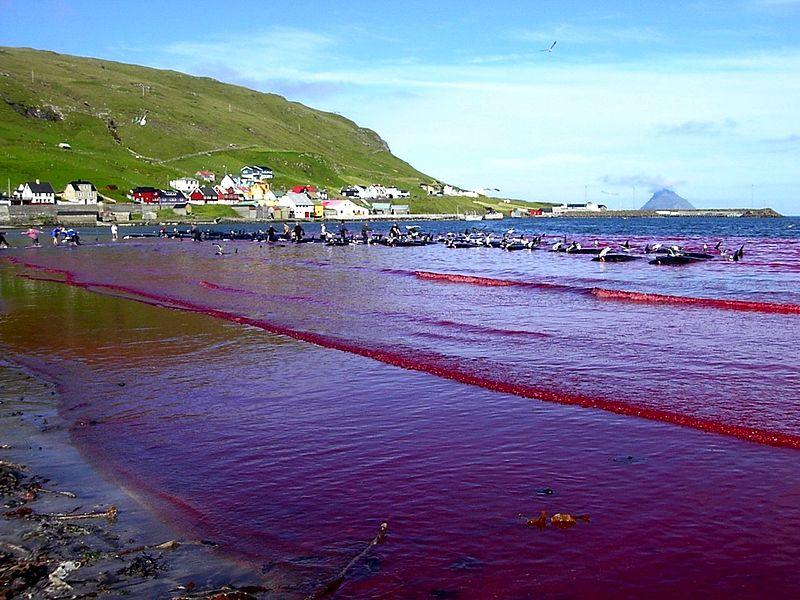 File:Hvalba beach whaling, Faroe Islands.jpg