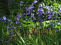 Hyacinthoides non-scripta Cise.jpg