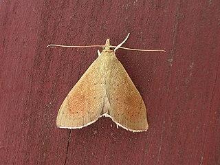 <i>Hyalobathra archeleuca</i>
