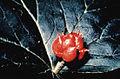 Hydrastis fruit.jpg