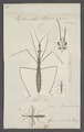 Hydrometra - Print - Iconographia Zoologica - Special Collections University of Amsterdam - UBAINV0274 041 08 0007.tif