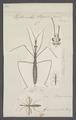 Hydrometra - Print - Iconographia Zoologica - Special Collections University of Amsterdam - UBAINV0274 041 08 0007.tif
