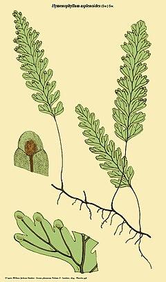 Hymenophyllum asplenoides