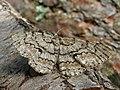 Hypomecis roboraria - Great oak beauty - Дымчатая пяденица большая (27054480198).jpg