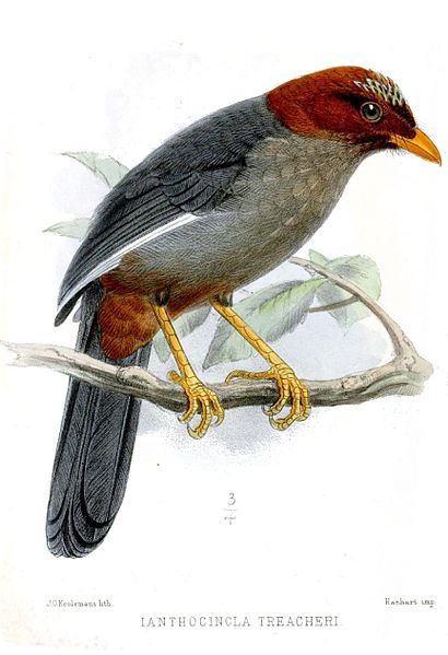 Tập tin:IanthocinclaTreacheriKeulemans.jpg