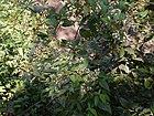 Ichnocarpus frutescens (8287200146).jpg