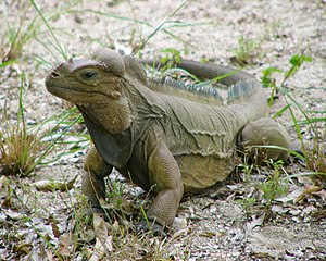 Mona ground iguana - Image: Iguana pauses in the grass