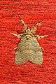 Ilema baruna (Lymantriidae- Orgyinae) (5695374109).jpg