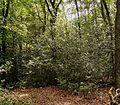 Ilex aquifolium 13 ies.jpg
