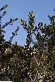 Ilex vomitoria Dodds Cranberry 1zz.jpg