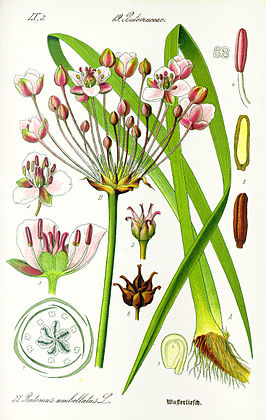 Illustration Butomus umbellatus1.jpg