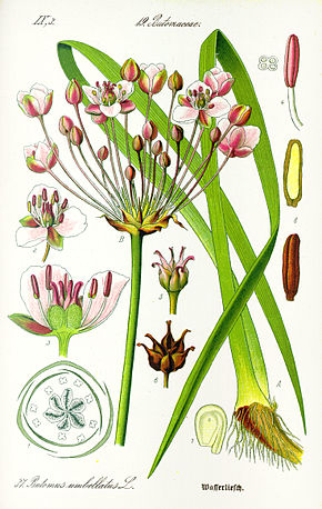 Description de l'image  Image:Illustration Butomus umbellatus1.jpg .