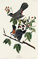 Illustration from Birds of America (1827) by John James Audubon, digitally enhanced by rawpixel-com 128.jpg