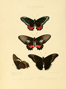Illustrations of new species of exotic butterflies Papilio V.jpg
