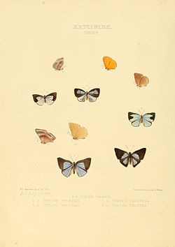 Illustrations of new species of exotic butterflies Theope.jpg