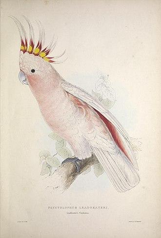 "Major Mitchell's cockatoo - ""Plyctolophus leadbeateri, Leadbeater's Cockatoo"" in Lear's influential 1832 monograph."