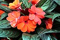 Impatiens hawkeri Harmony Orange 1zz.jpg