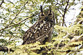Indian Eagle Owl clicked at Nagpur, India, by Dr. Tejinder Singh Rawal.jpg