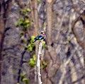 Indian Roller, Satpura Tiger Reserve, Madhai, Madhya Pradesh.jpg