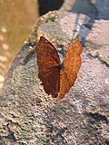 Indian brown butterfly.jpg
