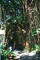 Indian rubber tree on Lugard Road 2.JPG