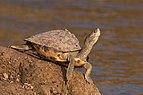 Indian tent turtle (Pangshura tentoria tentoria).jpg