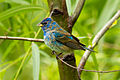 Indigo bunting at Smith Oaks Sanctuary, High Island.jpg