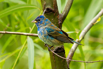 Indigo bunting - Juvenile male indigo bunting at Smith Oaks Sanctuary, High Island