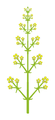 Inflorescence morphology thyrse2.png