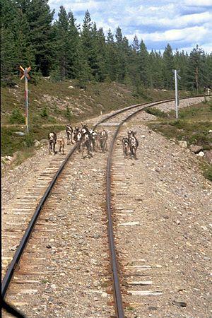 Inland Line - Image: Inlandsbanan Reindeer