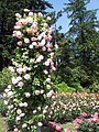 International Rose Test Garden, Oregon (2013) - 9.jpeg