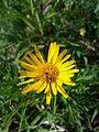 Inula ensifolia sl 3.jpg