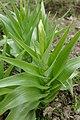 Iris magnifica in Jardin des Plantes 02.jpg