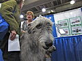 Irish wolfhound looking at camera (8109952433).jpg