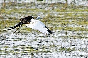 Jacana Football Club - Image: Jacana in flight at Sholinganallur swamp