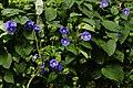 Jacquemontia pentanthos 0696.jpg
