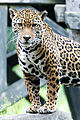 Jaguar Posed on Rock (18622496563).jpg