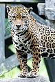 Jaguar Posed on Rock (18622496563).jpg
