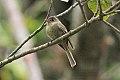 Jamaican Pewee (Contopus pallidus) (8082126311).jpg