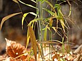 Japanese Stiltgrass (31028985861).jpg
