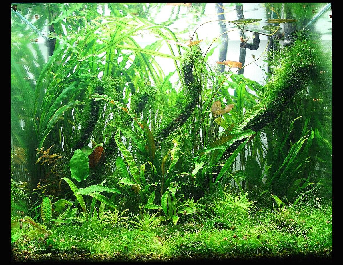 Planta para acuario de agua dulce wikipedia la for Peceras de jardin