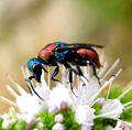 Jewel Wasp - Flickr - gailhampshire.jpg