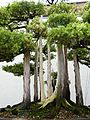 John Naka's Goshin - National Bonsai & Penjing Museum - Washington, D.C. - Stierch - A.jpg