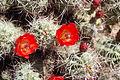 Joshua Tree National Park - Mojave Mound Cactus (Echinocereus triglochidiatus) - 13.JPG