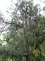 Juniperus cedrus 01 by Line1.jpg